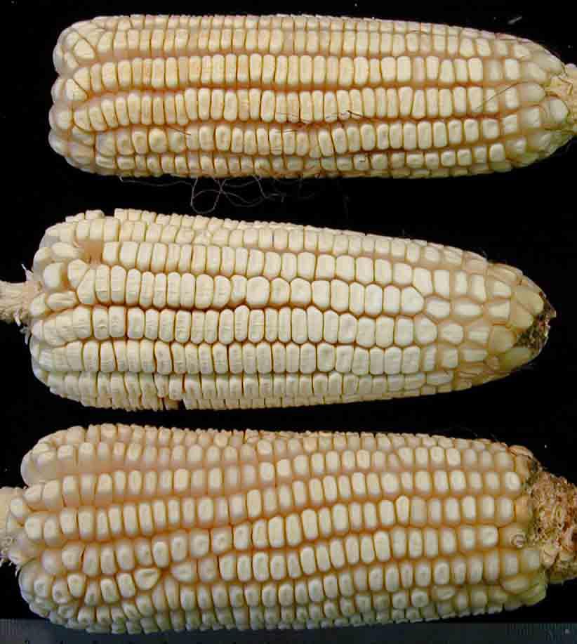 Tohono O'odham June Corn