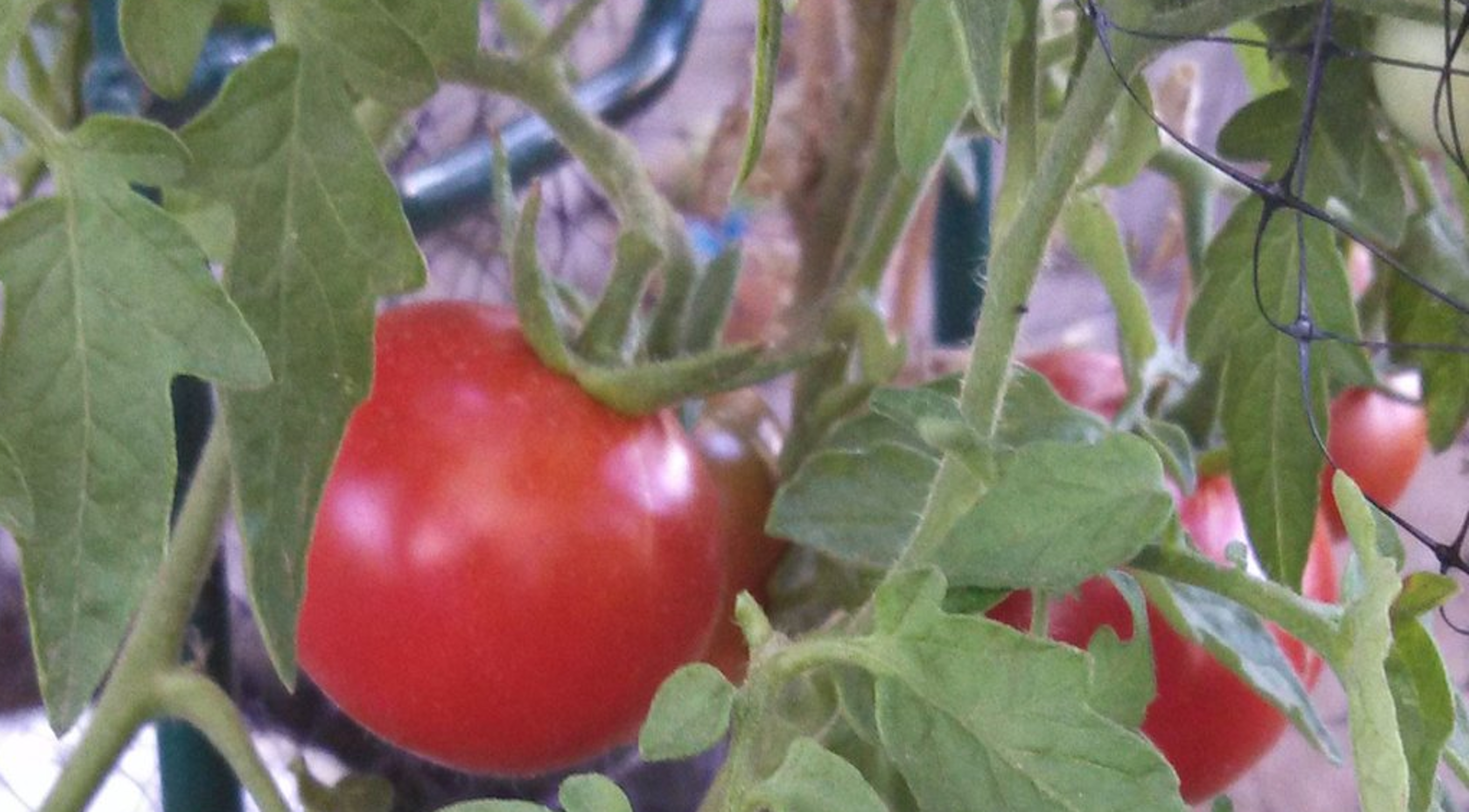 Caring for Tomato Plants in the Desert