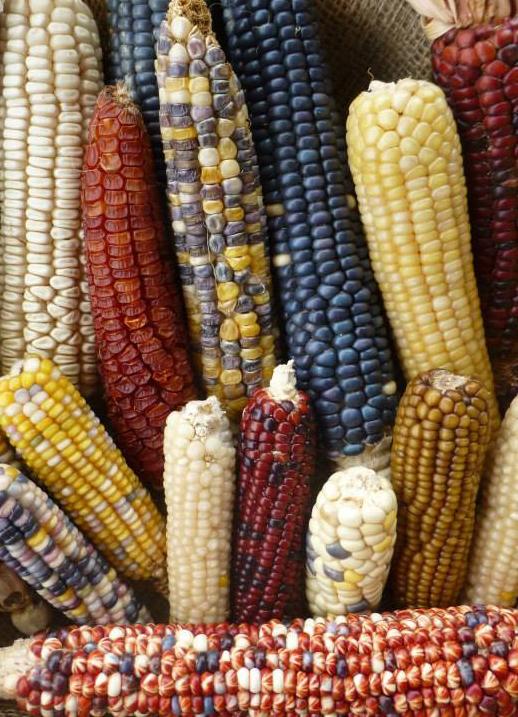 NSS Corn Diversity